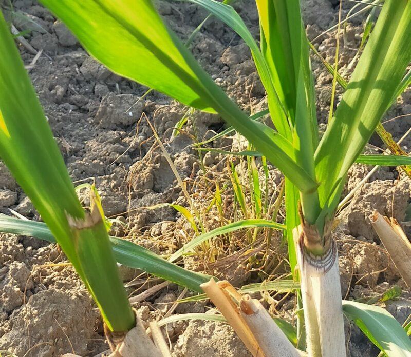補植後芽が出てきたサトウキビ