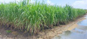 雑草の無い肥培管理された「さとうきび畑」